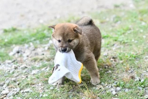 生後39日目の柴犬の子犬の写真