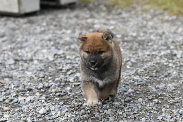 生後43日目の柴犬の子犬の写真