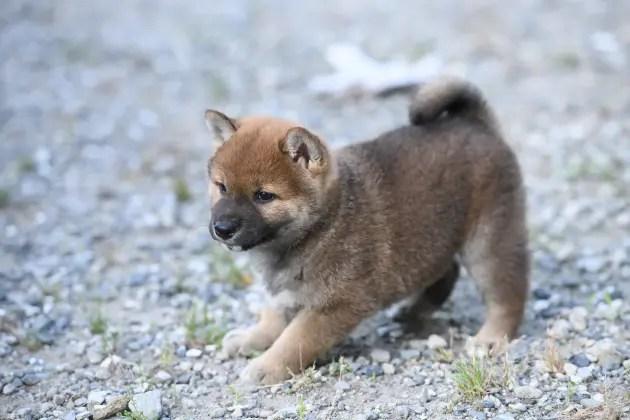 生後46日目の柴犬の子犬の写真