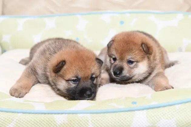 生後22日目の柴犬の子犬の写真