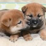 生後30日の柴犬の子犬の写真