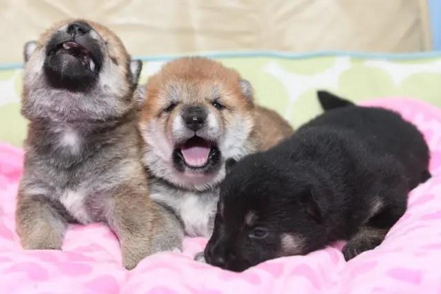 目が開いたばかりの柴犬の子犬の写真