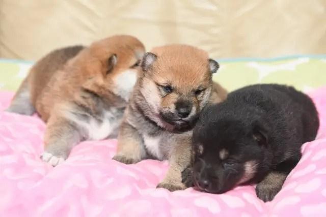 生後19日目の柴犬の子犬たちの写真