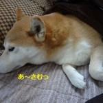 【柴犬動画】寒くて布団から出られない柴犬まるは「ご飯だよぉ~!」と呼んでも完全に無視する。