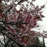 昭和記念公園は2/22~2/23休園日だけど柴犬まるは諦めない!一足早い桜を見た