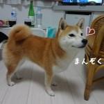 犬だって旅行は疲れるのよ!しぶごえ千倉の客室で疲れを癒す柴犬まる。