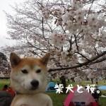 昭和記念公園で柴犬とお花見2016!今年は天気に恵まれないなぁ~。