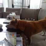 【動画あり】柴犬まると家で空中ボールキャッチにチャレンジしてみた!