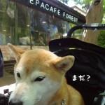 ペパカフェ・フォレスト吉祥寺で柴犬まるとエスニックランチを食べる!