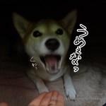 犬のご飯とケーキのドッグダイナーでおせち・クリスマスケーキ・酵素・ブルベリ色々買ってみた!