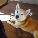 立川「麦2 (BAKU BAKU)」で柴犬まると焼き立てピザを食べてきました!
