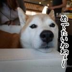 【2.14追記】立川ペットOK『カフェガレージ』に柴犬まると行ってきました!随時更新中