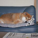 実家にいる柴犬たろうが可愛すぎて辛いので自慢しまくってみる!