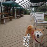 柴犬まるとランチに散歩!「大多喜ハーブガーデン」に行ってきました!