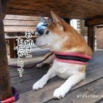 柴犬まると九十九里「Cafe' pohu(カフェポフ)」に行ってきました!