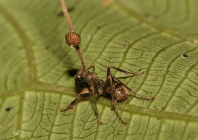 Karıncıları zombi yapan parazit
