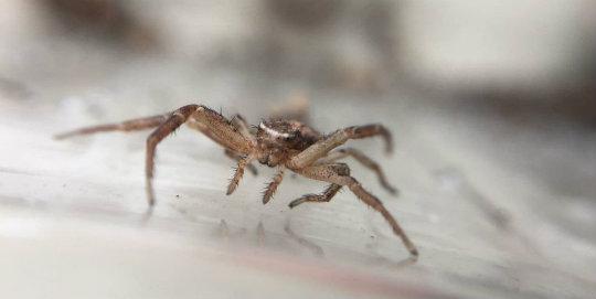 Uçabilen örümcek