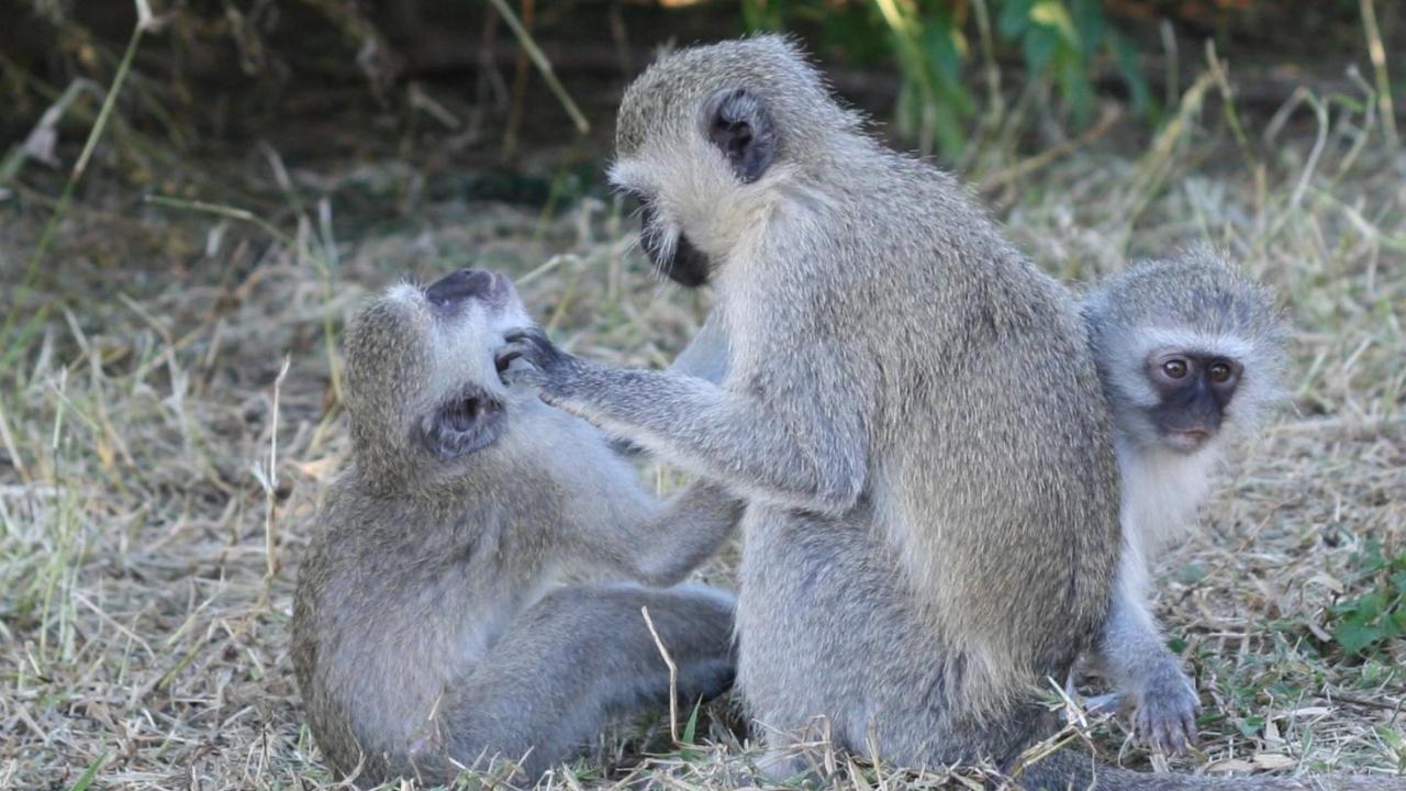 maymunlar sosyal mesafeyi korudu