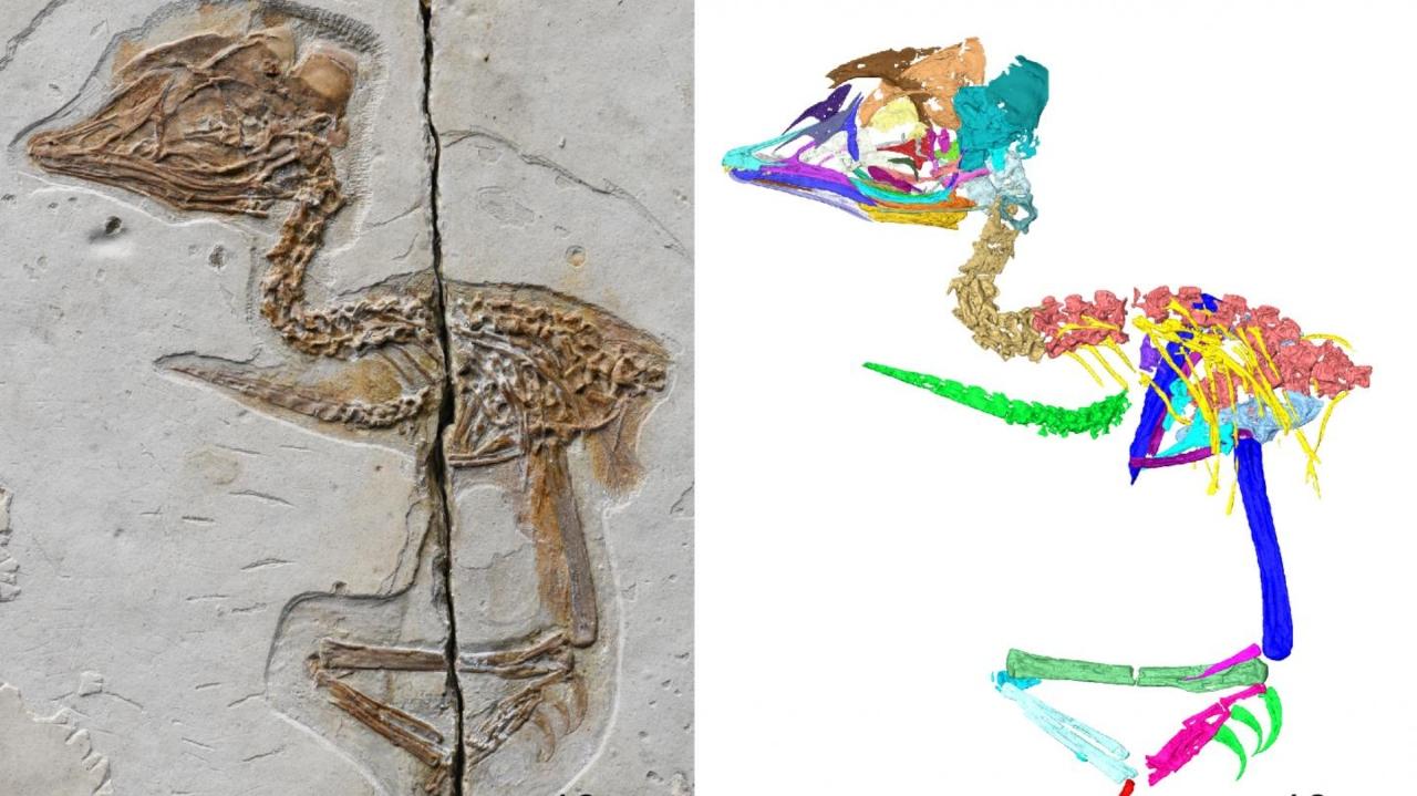 T-Rex benzeri kuş fosili