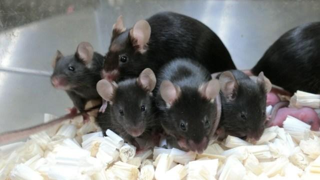 Uzayda saklanan spermlerden bebek fareler doğdu