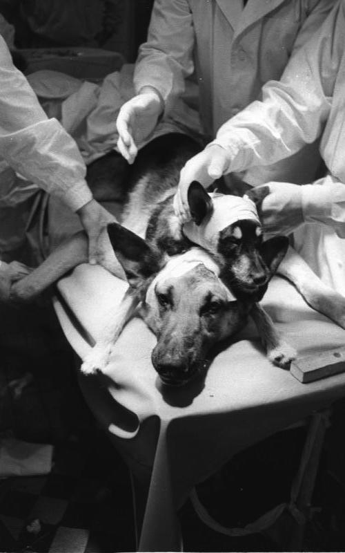 Kopftransplantation durch Physiologen Demichow