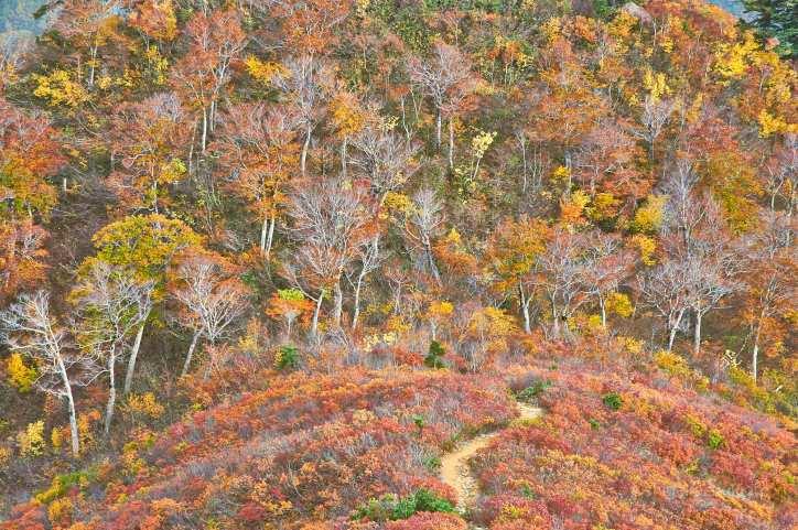平ヶ岳の登山道の紅葉