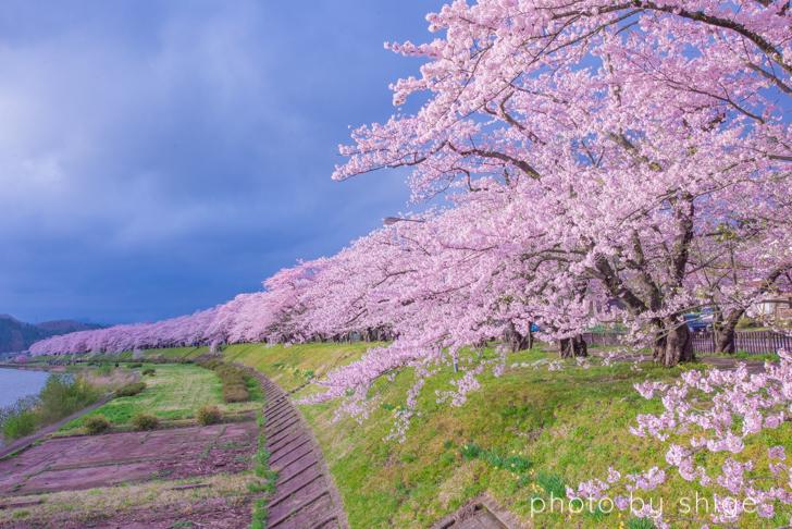 桧木内川の桜