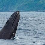 奄美ザトウクジラ