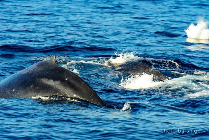 ザトウクジラの群れ