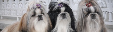 legende shih tzu