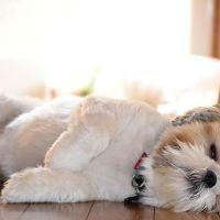 Shih Tzu Snoring