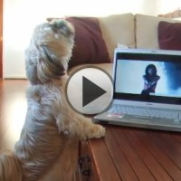 Katy Perry's Shih Tzu Fan