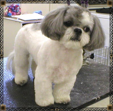 Shih Tzu Haircuts Are Much Better When They Represent Your Dogs Personality And Not Yours