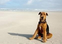 Airedale Terrier temperament
