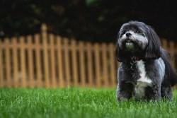 Are shih tzu dogs hypoallergenic