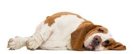 Basset-hound-dog