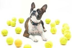 Boston Terrier temperament