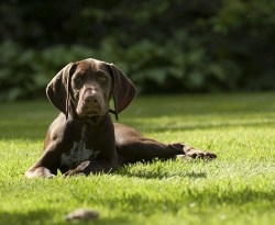 Do german shorthaired pointers shed