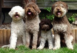 Do lagotto romagnolo shed
