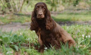 Field Spaniel Temperament