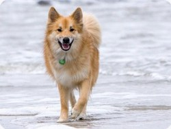 How common are icelandic sheepdog puppies