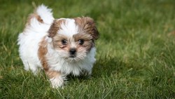 How much are shih tzu puppies