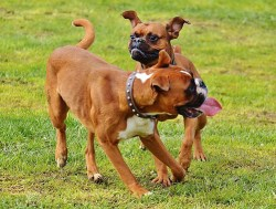 How smart are boxers compared to other dogs