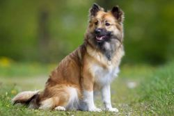 Icelandic Sheepdog looking cute and alert.