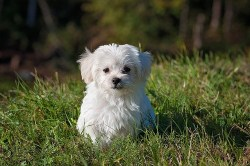 Maltese characteristics: Image of Maltese dog sitting in the grass on a hot day.