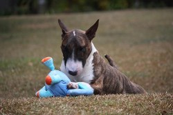 Miniature Bull Terrier Breed Facts and Resources