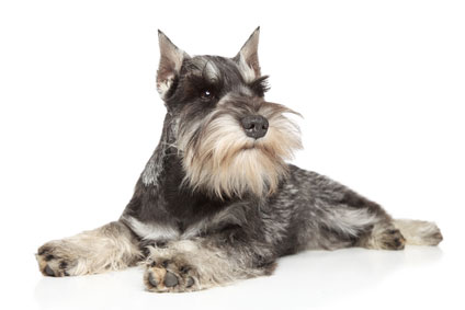 picture of minature schnauzer
