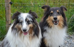 Shetland Sheepdog temperament