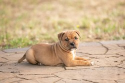 Staffordshire Bull Terrier puppy laying down in the yard relaxing on a hot day