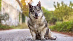 Swedish Vallhund Breed Facts and Resources